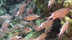 Shoal of Stripped Fish on Coral Reef Royalty Free Stock Image