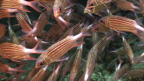 Shoal of Stripped Fish on Coral Reef Royalty Free Stock Photography