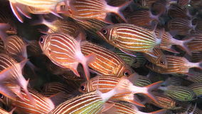 Shoal of Stripped Fish on Coral Reef Stock Photography