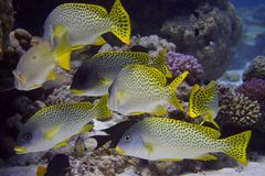 Shoal of sweetlips Royalty Free Stock Photos