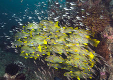 Shoal of Sweetlips Fish Surrounded by Glassfish Royalty Free Stock Photography