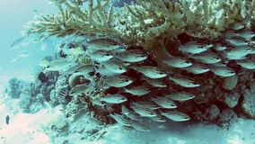 Shoal of treadfin bream on a coral reef stock video