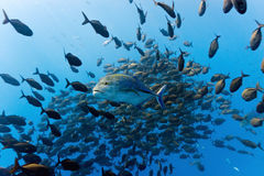 Shoal of trevally fish Stock Image