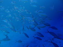 Shoal of tropical fish. In blue ocean Stock Photos