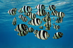 Shoal of tropical fish Banded butterflyfish Stock Images