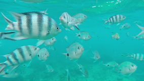 Shoal of tropical fish, Banded butterflyfish, with water surface in background, Mauritius. Shoal of tropical fish, Banded butterflyfish, with water surface in stock footage