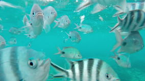 Shoal of tropical fish, Banded butterflyfish, with water surface in background, Mauritius. Shoal of tropical fish, Banded butterflyfish, with water surface in stock video footage