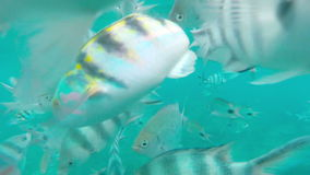 Shoal of tropical fish, Banded butterflyfish, with water surface in background, Mauritius stock video footage