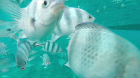 Shoal of tropical fish, Banded butterflyfish, with water surface in background, Mauritius stock footage