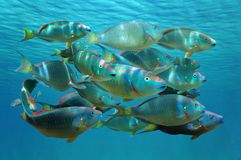 Shoal of tropical fish Stoplight parrotfish. Shoal of colorful tropical fish, Stoplight parrotfish in terminal phase, under the water surface, Caribbean sea stock photography