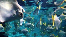 Shoal of tropical fish swim in aquarium stock video