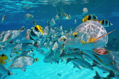 Shoal of tropical fish underwater close to surface. Shoal of tropical fish, mostly humpback red snapper with some butterflyfish and damselfish, underwater close Stock Photo