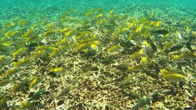 Shoal of tropical fish underwater stock footage