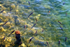 Shoal of trouts Royalty Free Stock Photo