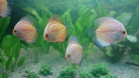 Shoal of white leopard discus fish Stock Images