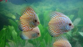 Shoal of white leopard discus fish Royalty Free Stock Photo