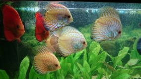 Shoal of white leopard discus fish Royalty Free Stock Image