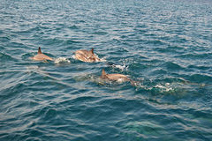 Shoal of wild dolphins swim in the Indian Ocean, Maldives Stock Images
