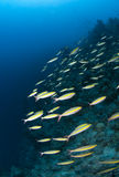 Shoal of Yellow-band fusiliers cruising the reef. Stock Images