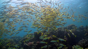 Shoal of yellow fish on the coral reef stock footage