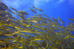 Shoal of yellow goatfish. Picture taken in the red sea stock image