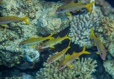 Shoal of yellow goatfish Stock Photo