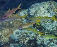 Shoal of yellow goatfish. Mulloidichthys vanicolensis Stock Photography