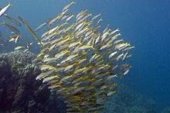 Shoal of yellow goatfishes in red sea Royalty Free Stock Photo