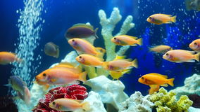 Shoal of yellow vivid fish swim among coral reef. In aquarium with air bubbles stock video