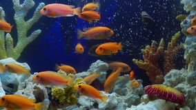 Shoal of yellow vivid fish swim among coral reef. In aquarium with air bubbles stock video footage