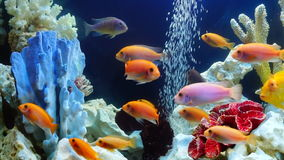 Shoal of yellow vivid fish swim among coral reef. Shoal of yellow orange vivid fish swim among coral reef in aquarium with air bubbles stock video footage