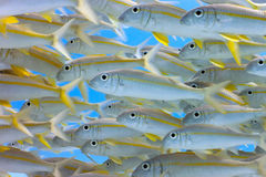 Shoal of yellowfin goatfish Stock Photo