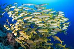 Shoal of Yellowfin goatfish Royalty Free Stock Photo