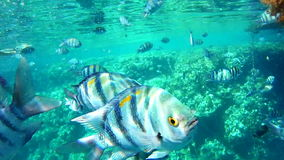 Shoals of fish near a coral reef. Red sea, Egypt stock video