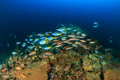 Shoals of tropical fish around a deep water coral pinnacle Royalty Free Stock Photos