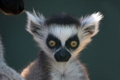 Shock And Awe. Ringtailed Lemur baby with a shocked expression on his face Royalty Free Stock Photography