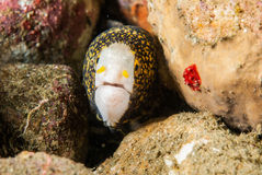Shock snowflake moray eel in Ambon, Maluku, Indonesia underwater photo Stock Photography