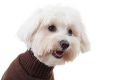 Shocked bichon puppy dog wearing clothes looks to side. On white background Stock Photography