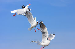 Shocked birds, Funny looking Seagulls face expression during snatching food in sky Stock Photos