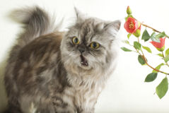 Shocked cat. Persian fluffy cat frightened to mew Royalty Free Stock Photos