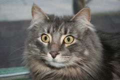 Shocked Fluffy Cat Stock Images