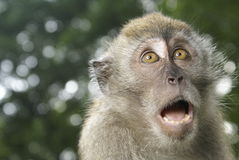 Shocked monkey expression. Long tailed macaque portrait with shocked expression Royalty Free Stock Photo