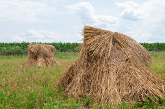 Shocked oats. Bundles of cut oats in placed in shocks in an Amish field Royalty Free Stock Photography