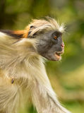 A shocked Zanzibar Red Colobus monkey Stock Photos