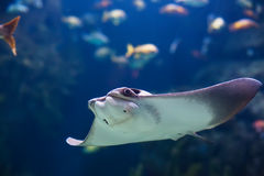 Shockfish. Electric ray fish in sea Stock Image