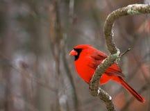 Shocking красный цвет Стоковые Фотографии RF