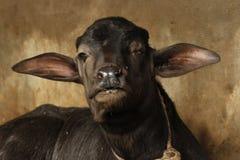 Baby buffalo. The shocking face of baby male buffalo royalty free stock image