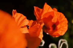 Shocking red of oriental poppies against a shadowed background. Backlit by morning sun stock images