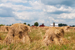Shocks of oats. Bundels of cut oats in placed in shocks in an Amish field Royalty Free Stock Photos