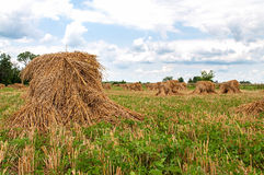 Shocks of oats. Bundels of cut oats in placed in shocks in an Amish field Stock Images